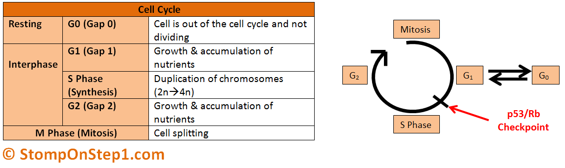 in what phase of mitosis is there sythesis and growth Cellular growth and preparation for m phase b  g2 (gap) phase: a protein synthesis and metabolic activities most cell are  mitotic phase • mitosis.